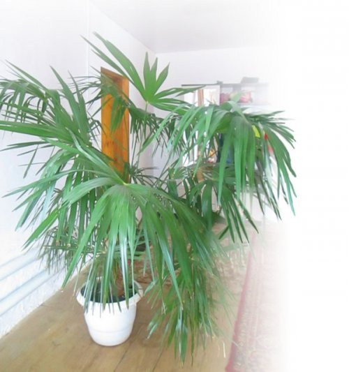 Иң ҙур ғорурлығым –  Вашингтония пальмаһы